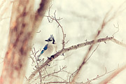 Birds On A Branch Posters - Blue Jay Winter Poster by Karol  Livote