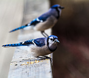 Craig Brown Art - Blue Jays by Craig Brown