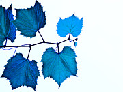 Grapevine Leaf Posters - Blue Poster by Jim DeLillo