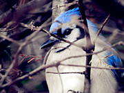 Blue Jay Picture Framed Prints - Blue Joy Framed Print by Zinvolle Art