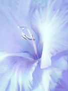 Purple Gladiolas Framed Prints - Blue Lavender Gladiola Flower Framed Print by Jennie Marie Schell