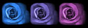 Purple Roses Photo Prints - Blue Lavender Violet Roses Triptych Print by Jennie Marie Schell