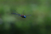 Striped Dragon Fly Prints - Blue Leader Print by White Feather Photography