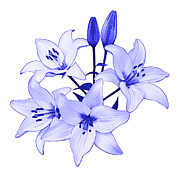 Blue And White Porcelain Prints - Blue Lily Print by Jane McIlroy