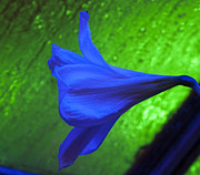 Darleen Stry - Blue Lily on Green