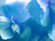 Begonias Posters - Blue Melody Begonia Floral Poster by Jennie Marie Schell