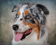 Australian Animal Framed Prints - Blue Merle Australian Shepherd Framed Print by Jai Johnson