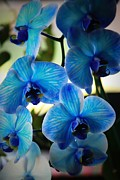Orchids Prints - Blue Monday Print by Mandy Shupp
