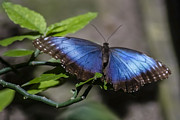 Morph Photo Prints - Blue Morph butterfly Print by Sven Brogren