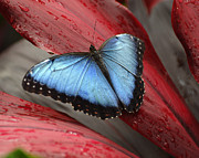 Red Garden Posters - Blue Morpho 2 Poster by Diane E Berry