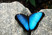 Kaufman Prints - Blue Morpho Butterfly Print by Eva Kaufman