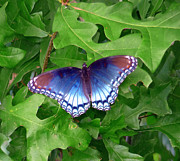 Morph Framed Prints - Blue Morpho Butterfly Framed Print by Jim Whalen