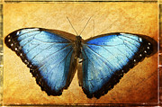 Neotropical Framed Prints - Blue Morpho Butterfly  Framed Print by Saija  Lehtonen