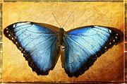 Saija  Lehtonen - Blue Morpho Butterfly