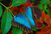 Tam Ryan - Blue Morpho Butterfly