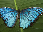 Biological Art - Blue Morpho - Morpho Peleides by Heiko Koehrer-Wagner