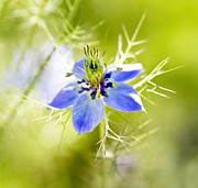 Flowers Photos - Blue Nigella by Rebecca Cozart