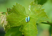 Grapevine Leaf Photo Framed Prints - Blue On Green Framed Print by Fraida Gutovich