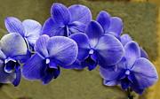 Rosanne Jordan - Blue Orchids