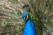 Adam Jewell - Blue Peacock Closeup