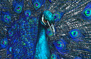 Peafowl Framed Prints - Blue Peacock Framed Print by Jane Schnetlage
