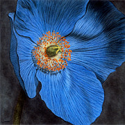 Floral Prints Drawings Posters - Blue Poppy Poster by Lawrence Supino