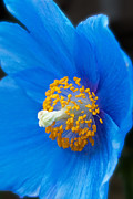 Michael Porchik - Blue Poppy