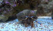John Baumgartner - Blue Reef Hermit Crab