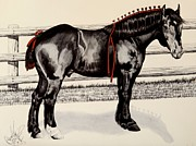 Percheron Drawings Posters - Blue Ribbon Farm Napoleon - Percheron Stallion Poster by Cheryl Poland