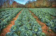Patch Posters - Blue Ridge Cabbage Patch Poster by Jaki Miller