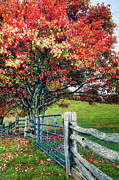 Vivid Fall Colors Framed Prints - Blue Ridge - Fall Colors - Autumn Maple Tree Fence Gate I Framed Print by Dan Carmichael