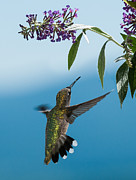 Birds With Flowers Posters - Blue Ridge Hummingbird Poster by Lara Ellis