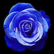 Blue Rose Print by Aimee L Maher