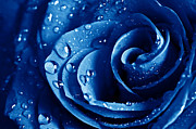 Shower Curtain Pyrography Posters - Blue Roses Poster by Boon Mee