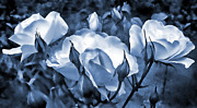 Blue Flowers Photos - Blue Roses in the Garden by Jennie Marie Schell