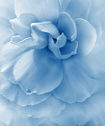 Rain Drop Posters - Blue Ruffled Begonia Flower Poster by Jennie Marie Schell