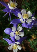 Denver Botanical Garden Prints - Blue Saphire Columbine Print by Bruce Bley