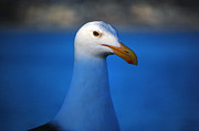 Blue Seagull Print by Debra Thompson