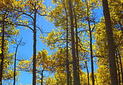Lush Colors Posters - Blue Skies and Golden Aspen Trees Poster by Amy McDaniel