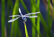 Saija  Lehtonen - Blue Skimmer