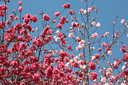 Blue And Pink Posters - Blue Sky with Pink Blossoms Poster by Carol Groenen