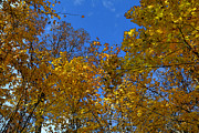 Lyle Crump - Blue Sky Yellow Leaves 2...