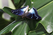 Judy Whitton - Blue-spotted Charaxes...