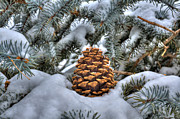 Pine Trees Art - Blue Spruce by Robert Crespin