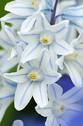 Larry Ricker - Blue Striped Squill Closeup