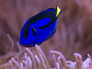 Blue Tang Fish Framed Prints - Blue Tang Framed Print by John VonTempske