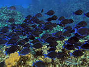 Parrot Fish Prints - Blue Tangs Print by Jimmy Nelson