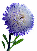 Asters Prints - Blue Tipped Aster Print by Terence Davis