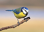 Tit Framed Prints - Blue tit Framed Print by Grant Glendinning