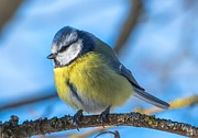 Blue Tit Print by Rose-Maries Pictures